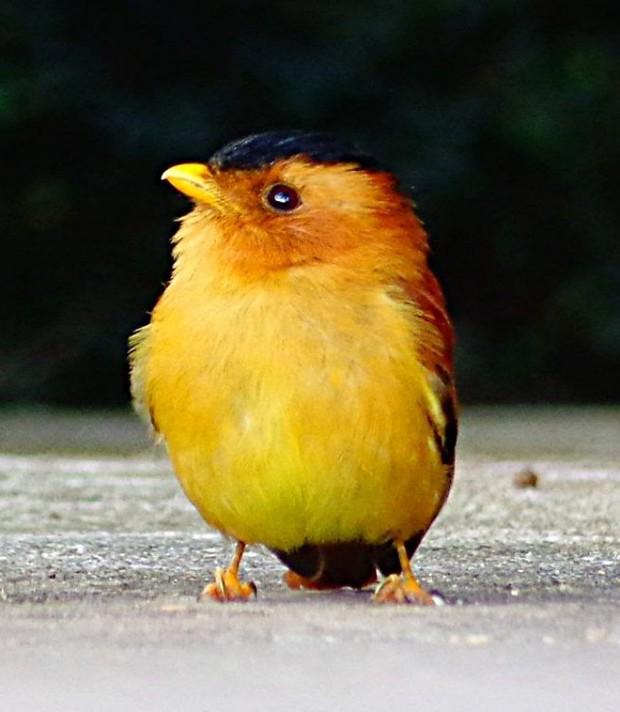 Pássaro canoro(Foto: Carlos Bozzo Junior)